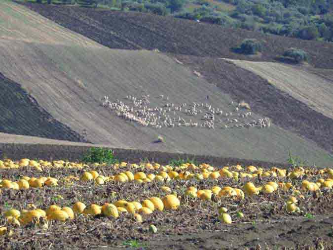 Picture of Sicilian countryside showing melons and a herder in the background tending to his sheep.